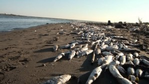 Mersin'de On Binlerce Ölü Balık Sahile Vurdu
