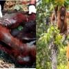 Nutella Palm yağı için orangutanları öldürüyor !