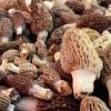 Kuzugöbeği mantarı kurusunun kilosu bin liraya alıcı buluyor