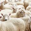 Bakan açıkladı: Geri dönenlere 300 koyun ve maaş