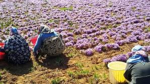 En pahalı baharatta hasat başladı