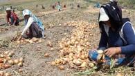 Soğan ekenler battı; Markette 4 Lira tarlada 10 Kuruş