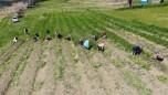 Dünyanın en pahalı baharatında sezon başladı! Kilosu 40 bin lira