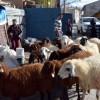 """Köyüne dönene 300 koyun projesi detayları belli oldu! Tarım ve Hayvancılık Bakanlığı açıkladı"""""""